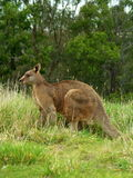 Kangaroo. Brown kangaroo in wildlife conservation, Australia stock photos