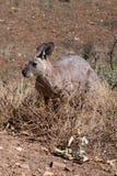 Kangaroo. Nature kangaroo in the outback. Australia Royalty Free Stock Photos
