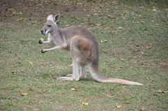 Kangaroo. Australian kangaroo eating on grass Stock Image
