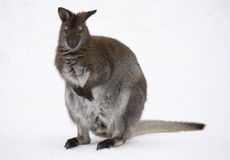 Kangaroo. Picture of a kangaroo in the snow in winter Royalty Free Stock Images