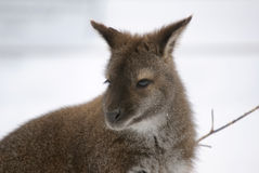 Kangaroo. Picture of a kangaroo in the snow in winter Stock Image