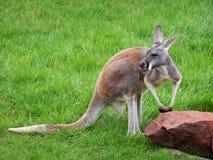 Kangaroo. On te green grass Royalty Free Stock Images