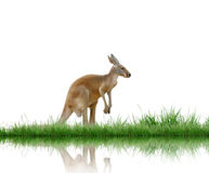 Kangaroo. With green grass isolated Stock Image
