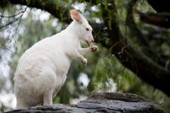 Free Kangaroo Royalty Free Stock Images - 16929619