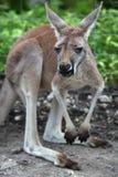 Kangaroo. Looking at the camera Stock Images