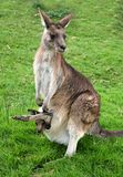 Kangaroo. A grey kangaroo with a joey in its pouch Stock Photos