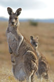 Kangaroo. Standing tall and staring at the camera Royalty Free Stock Images
