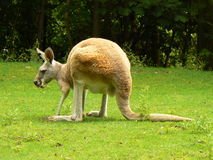 Kangaroo. Red Kangaroo (Macropus rufus) resting on the grass Royalty Free Stock Image