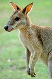Kangaroo. Small Australian kangaroo sometimes called a wallaby poised looking around after feeding on some fresh green grass picking Royalty Free Stock Photos