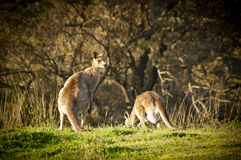 Kangaroo Royalty Free Stock Photo
