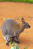 Kangaroo. With baby eat leaves Royalty Free Stock Photo