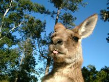 Kangaroo. In field with trees Stock Photography