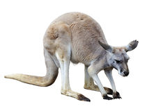 Kangaroo Royalty Free Stock Photography
