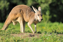 Kangaroo Royalty Free Stock Images