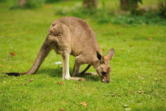 Kangaroo Royalty Free Stock Photos