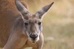 Free Kangaroo Stock Image - 27252611