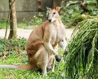 Kangaroo. Eating the grass leave Royalty Free Stock Photography