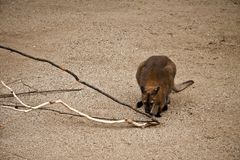 Kangaroo. And branches of wood in zoo Royalty Free Stock Image