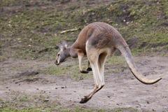 Kangaroo. A red kangaroo jumping around Royalty Free Stock Image