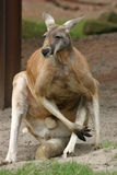 Kangaroo. Great kangaroo in a zoo Stock Photo