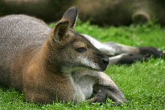 Kangaroo. Resting on grass royalty free stock images