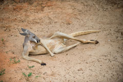 Kangaroo. Laying Down on the Ground Royalty Free Stock Images