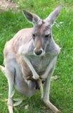 Kangaroo. With joey royalty free stock image