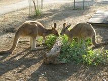 Kangaroo-6 Стоковое Изображение RF