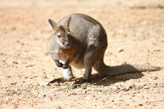 Kangaroo. Australian kangaroo sitting in red sand Stock Photos