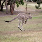 Kangaroo. Western Grey Kangaroo Hopping on Anglsea golfd course, Melbourne Royalty Free Stock Photography