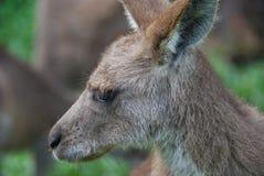 Kangaroo. Grey Kangaroo, Macropus fuliginosus, Australia Royalty Free Stock Images
