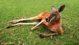 Kangaroo. Australian Red Kangaroo lying in the grass Royalty Free Stock Image