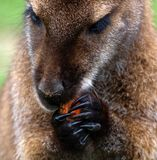 Kangaroo. With food in claws Royalty Free Stock Images
