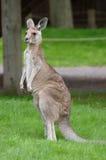 Kangaroo royalty free stock photo