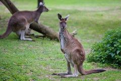 Kangaroo. Picture of a kangaroo looking at the camera Royalty Free Stock Image