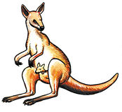 Kangaroo animal Stock Photo