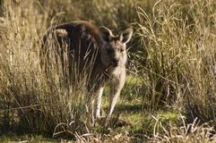 Kangaroo, Australia Stock Photos