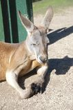 Kangaroo. Australia Royalty Free Stock Photo
