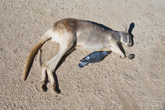 Kangaroo. Australia. Kangaroo rolling around in sand to scratch its back (it's alive, not dead Royalty Free Stock Photography