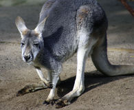 Kangaroo, Australia Royalty Free Stock Photos