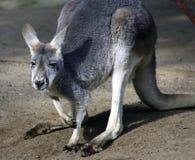 Kangaroo, Australia. Eastern Grey Kangaroo in Victoria,  Australia Royalty Free Stock Photos