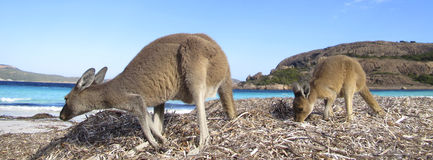 Kangaroo, Australia Royalty Free Stock Photo