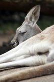 Kangaroo In Australia. Sleeping Kangaroo In Australia, Selective Focus on Head stock image