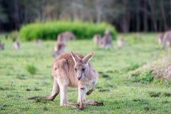 Kangaroo in Australia. Stock Photos