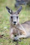 Wildlife of Australia Stock Image