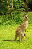 Kangaroo From Australia. The kangaroo is a marsupial from the family Macropodidae meaning `large foot`. In common use the term is used to describe the largest Stock Image