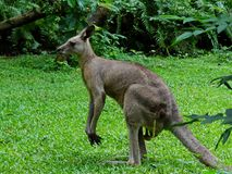 Kangaroo From Australia. The kangaroo is a marsupial from the family Macropodidae meaning `large foot`. In common use the term is used to describe the largest Stock Photography