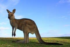 Kangaroo, australia Royalty Free Stock Photos