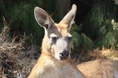 Kangaroo, australia Stock Photos