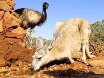 Kangaroo, australia Stock Images